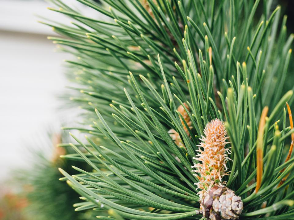 plants nature leaves green trees pine conifer needles bokeh
