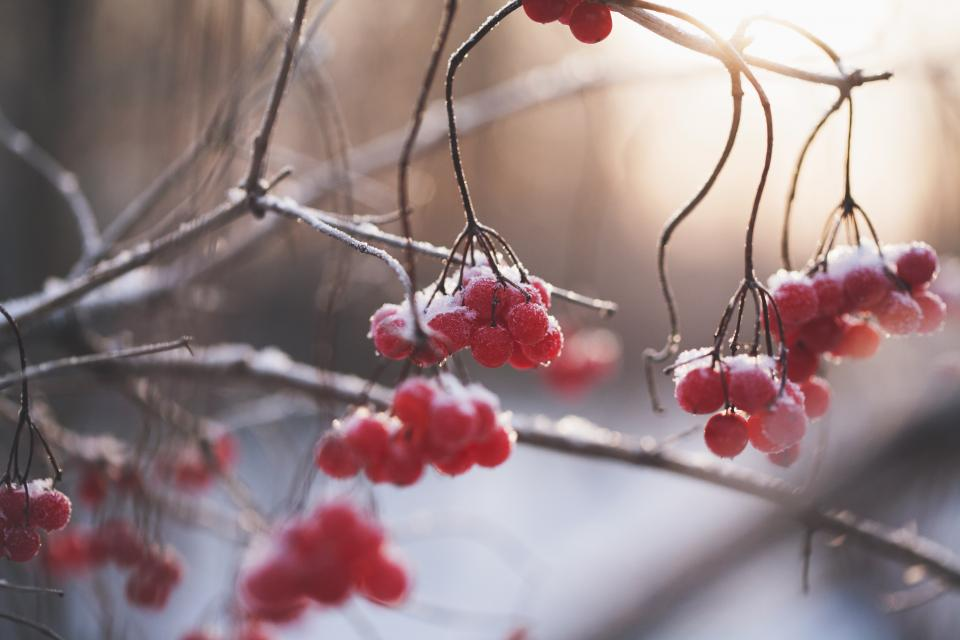 red fruit. tree branch plant nature ice winter snow