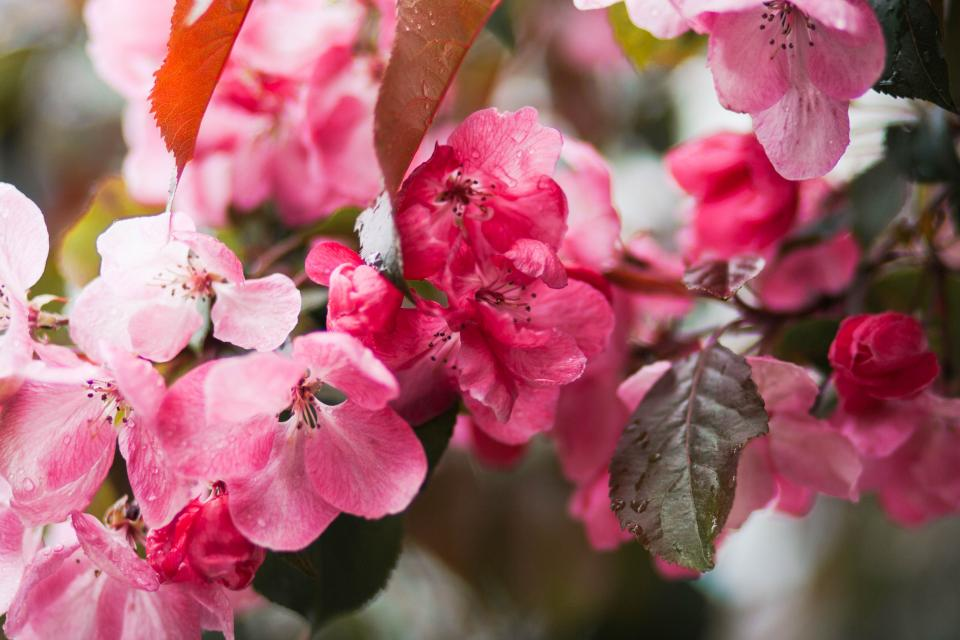 flowers nature blossoms branches stems stalk pink petals cherry sakura still bokeh outdoors garden