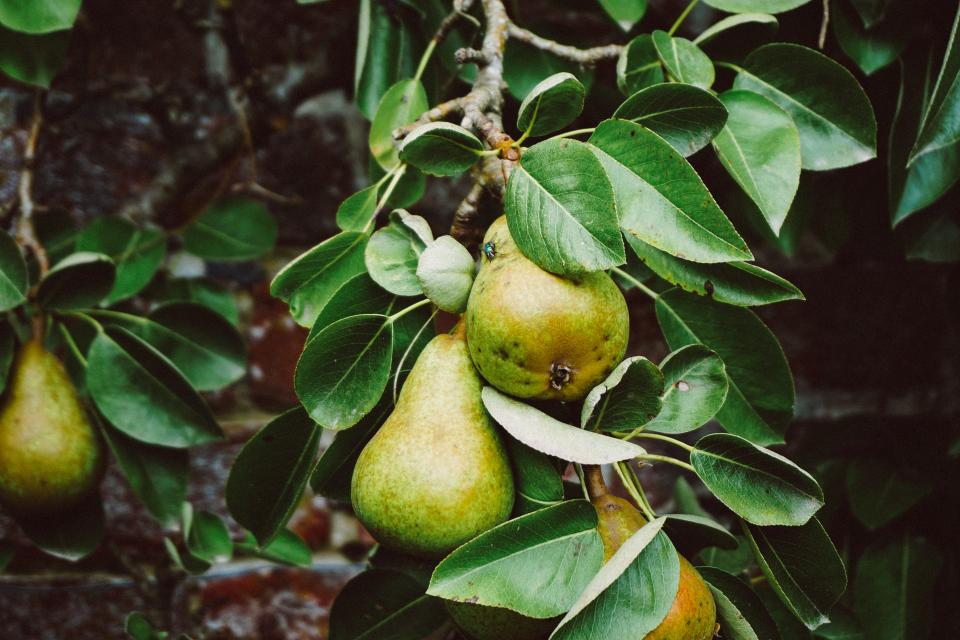 tree pears fruit green leaves food farm