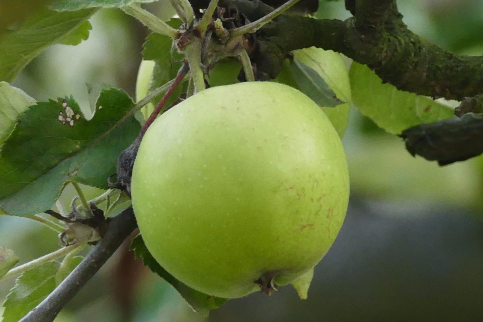 Poland apple fruit plant green food