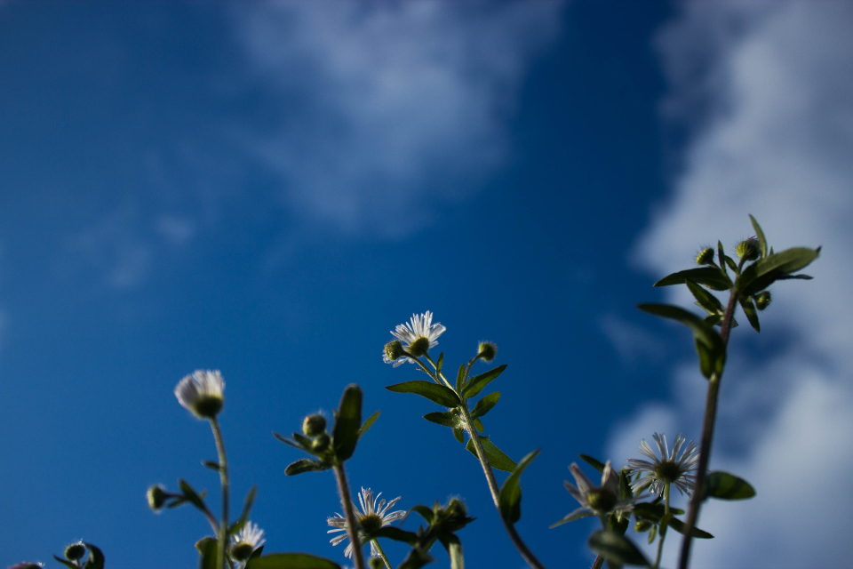 flowers sky nature flowers blue sky plant leaf leaves green white petal