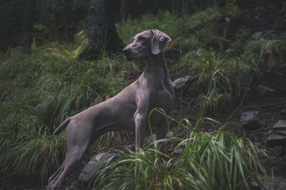 weimaraner breed dog animal green grass nature rocks landscape