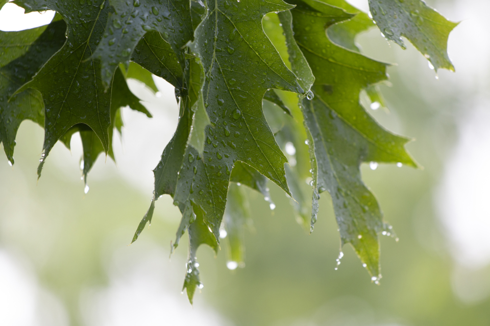 wet leaves close up trees rain droplets weather nature outdoors green environment oak