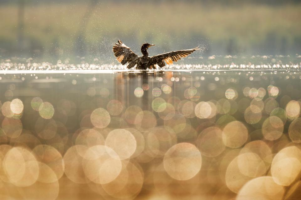 lake water bird swimming bokeh blur