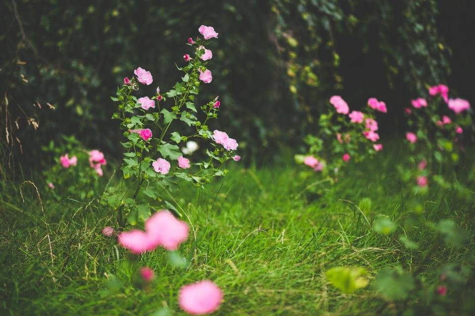 flowers nature pink blossoms spring summer branches grass leaves outdoors vines bokeh still