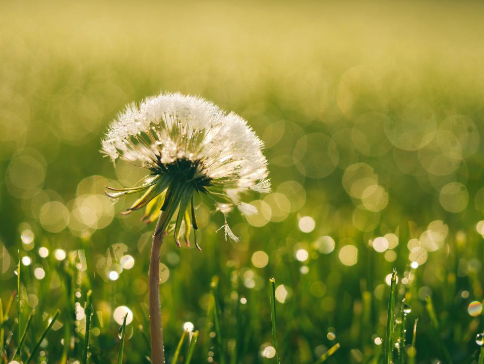 dandelion flowers garden nature green grass outdoors sunshine summer spring