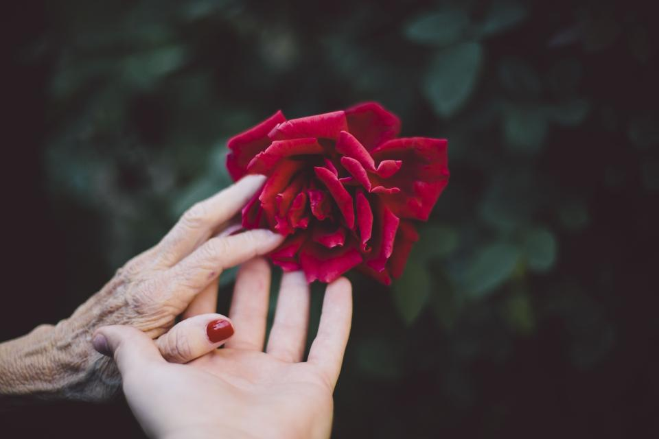 flower red petal bloom garden plant nature autumn fall rose people hands old green leaves