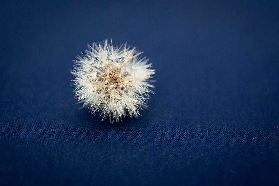 dandelion flower plant nature blue cloth