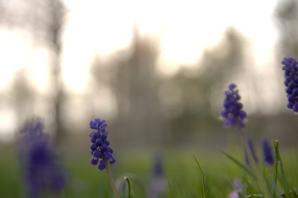 blue bell flowers close up nature outdoors bloom blossom botany garden organic bokeh grass