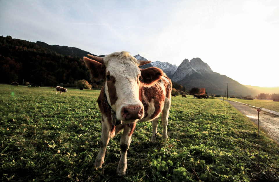 happy cow field farm animal smile photogenic mountain grass sunset duck sunrise