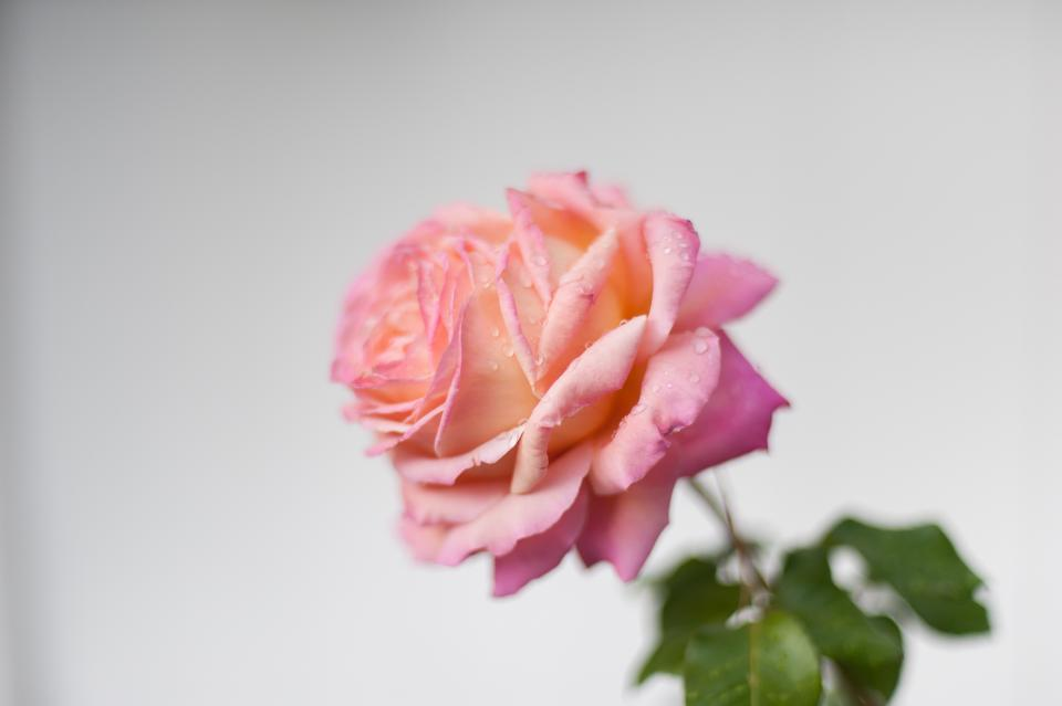pink petal rose flower plant green leaf blur
