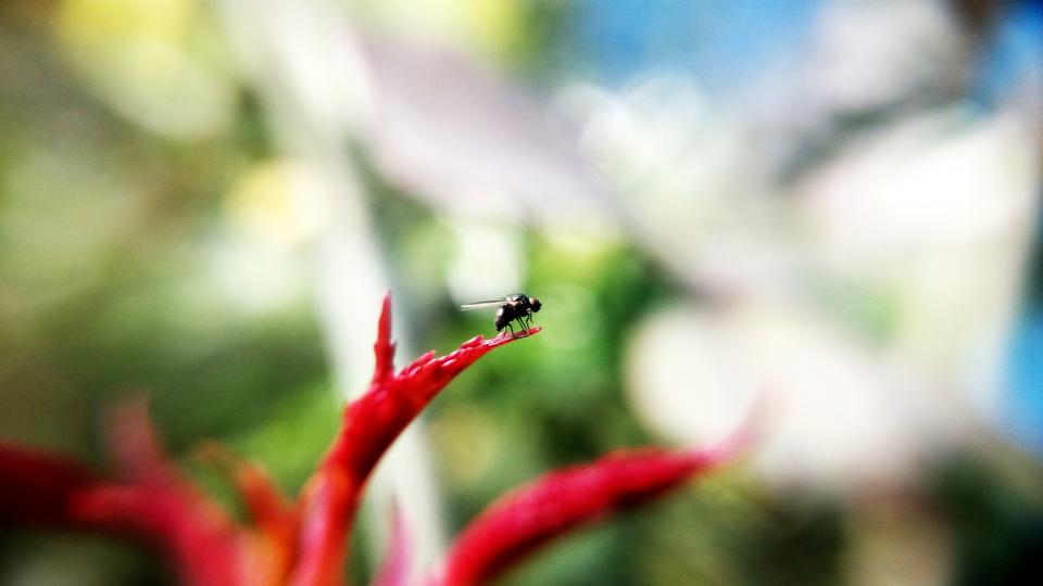 fly insect animal red petal flower nature plant garden blur bokeh