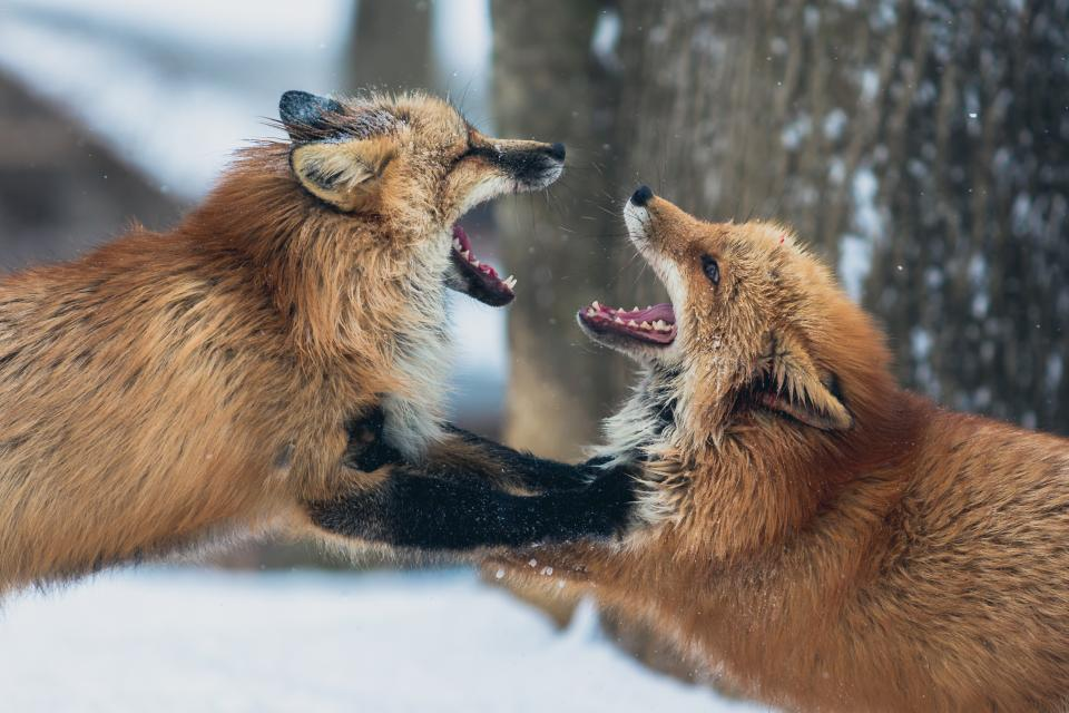 fox animal wildlife snow winter mouth