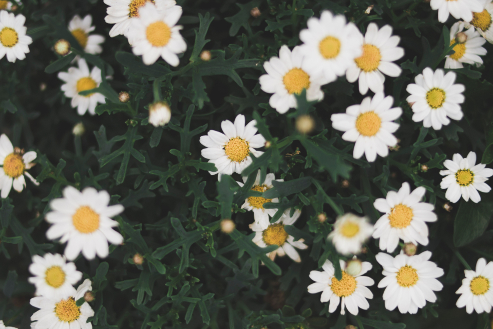 white daisy summer plant nature yellow bush spring