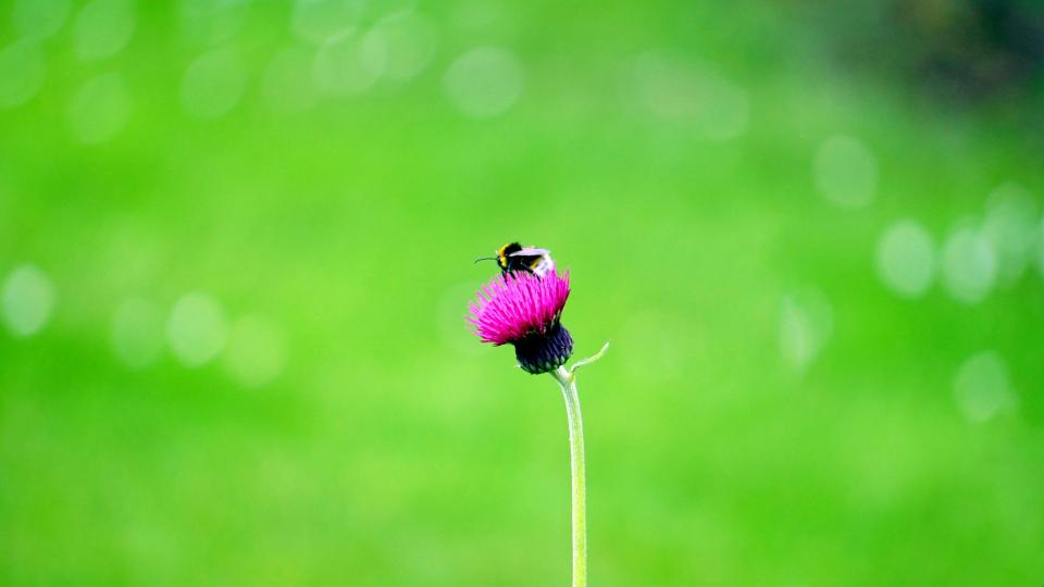flowers nature blossoms purple petals stem stalk insect bee macro still bokeh green
