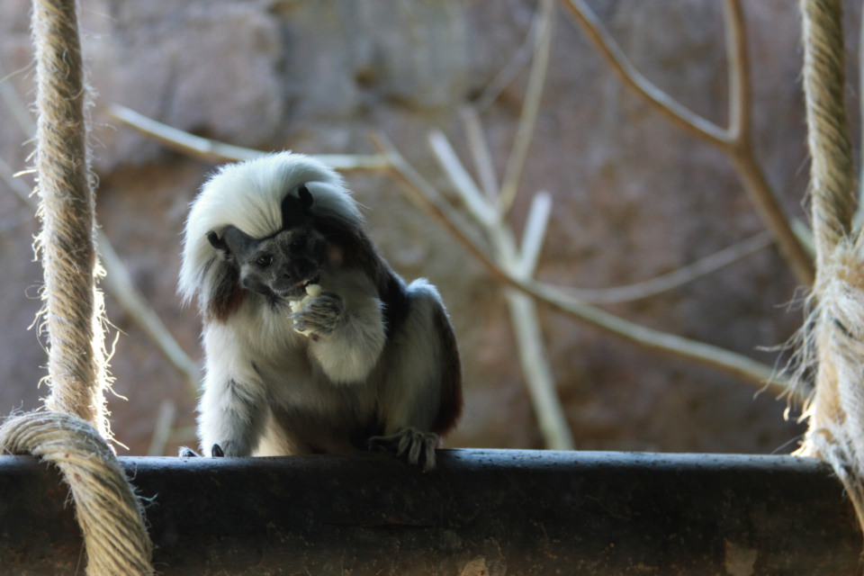 colombia fauna wildlife Cotton-top tamarin titi cabeza blanca rescued animals animal rescue wild wildlife ropembranch tree nature fauna tamarin cotton-top blanca white titi cabeza