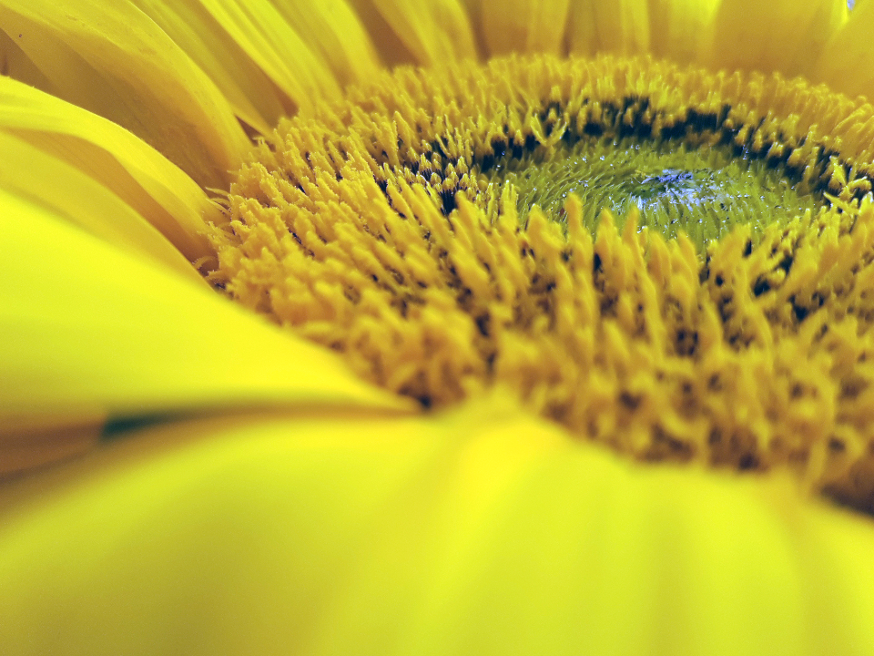 yellow flower sun sunflower closeup nature flora fauna petals