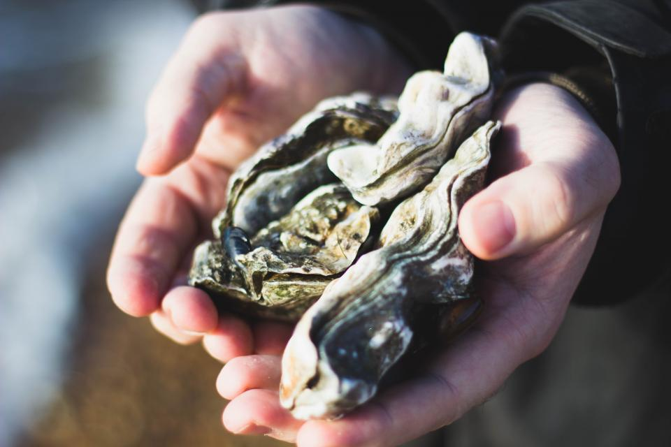 nature oysters shells people hands