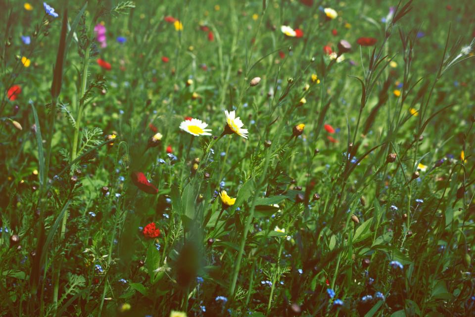 nature plants green grass flowers daisies