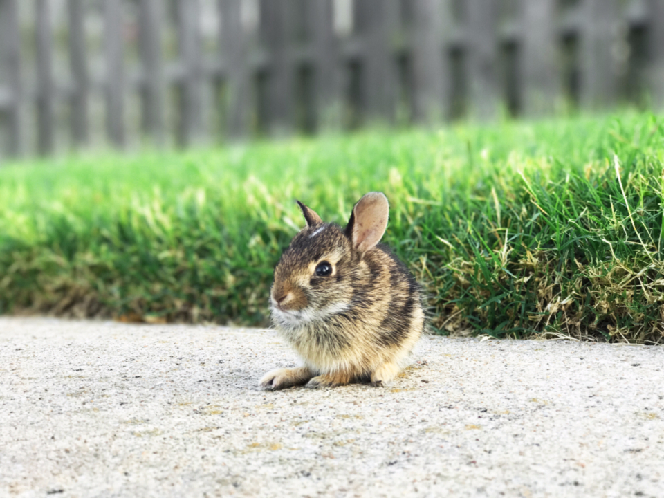 baby bunny rabbit mouse animal cute sidewalk grass nature outdoors yard