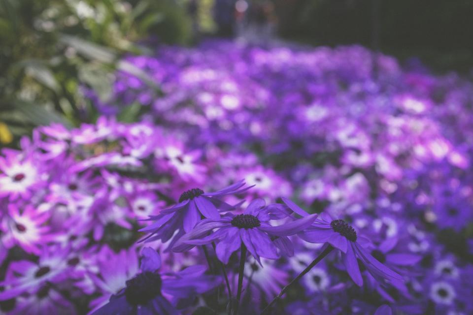 purple flower bloom blossom leaf petals garden outdoor nature blur