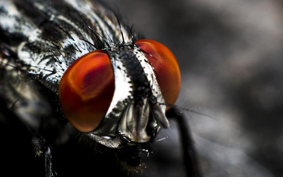 gray red eye insect fly