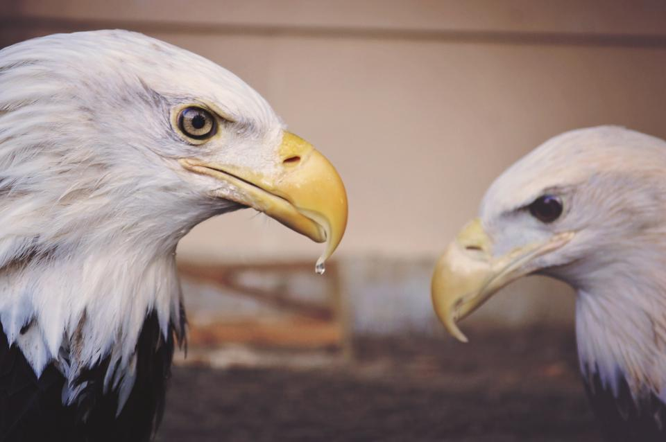 animals birds eagles beaks feathers fierce eyes water droplet bokeh