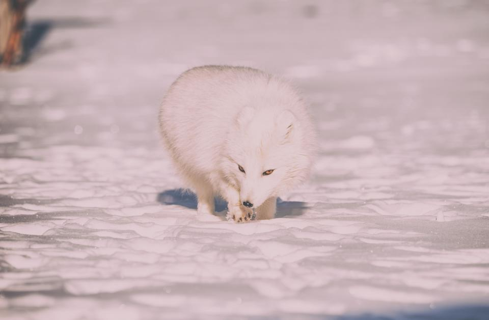 snow winter cold weather ice animals nature fur fox white