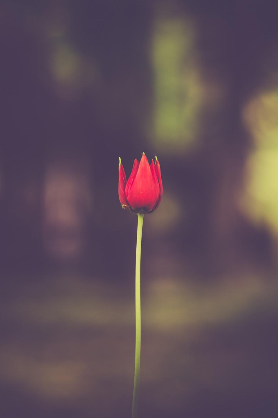 flowers nature blossoms red stalk stem petals macro still bokeh romance