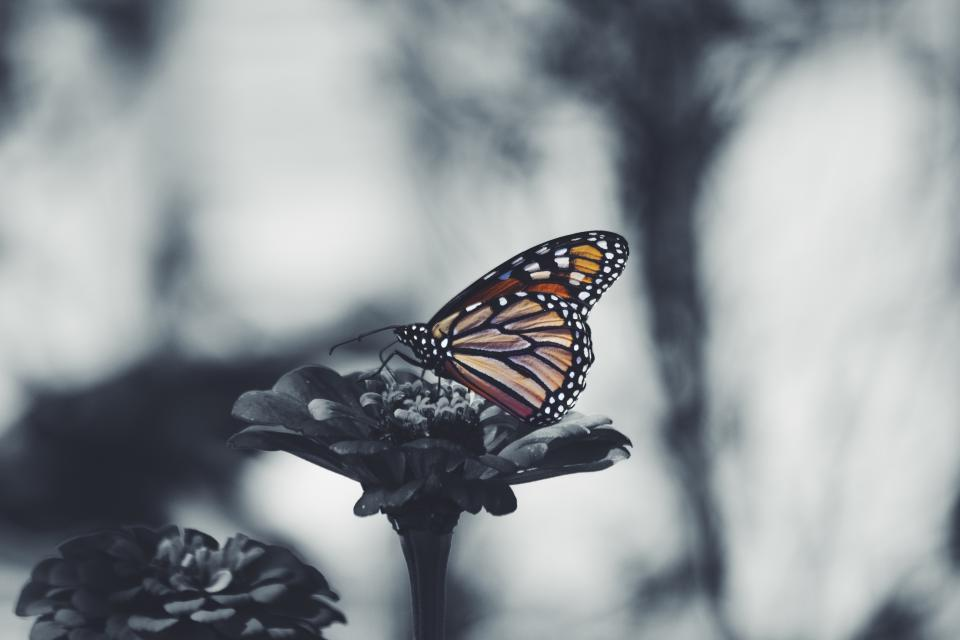 butterfly flower nature plant insect gray blur