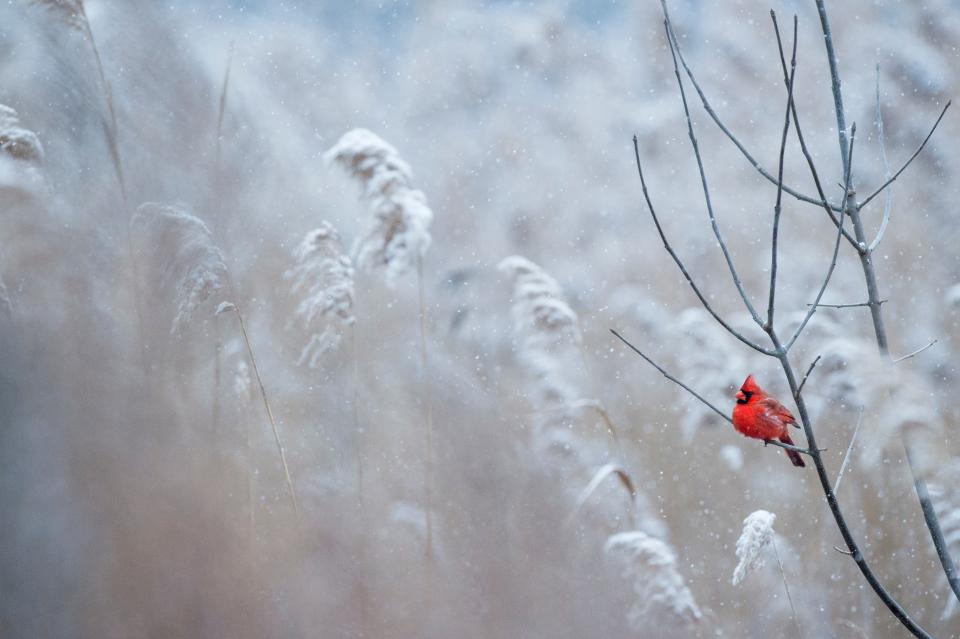 red bird branch grass outdoor nature snow winter