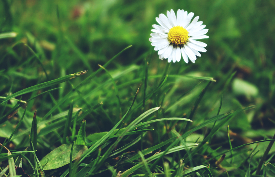 daisy daisies flowers grass nature
