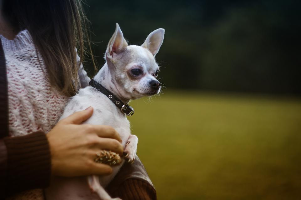 chihuahua dog puppy pet animal hand ring blur people girl blur