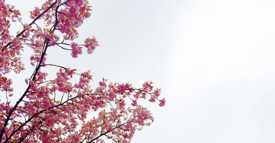 flowers nature blossoms pink branches twigs trees petals leaves outdoors sky white