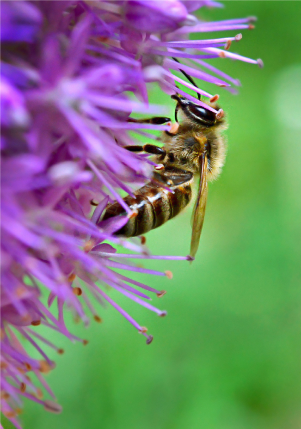 bee flower macro nature summer close up garden pollen honey blossom bug insect wings nectar
