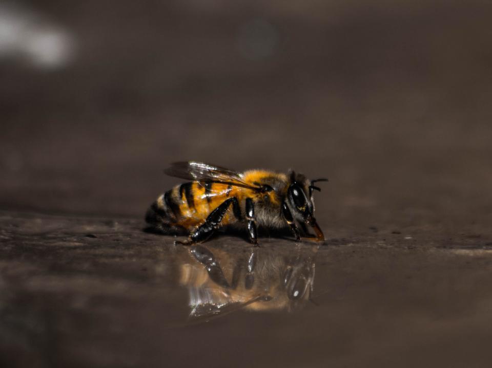 bee insect animal water reflection