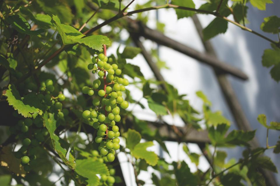 plants nature vines leaves branches grapes green still bokeh