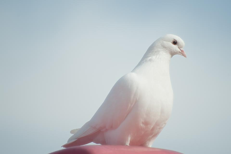 animals birds dove pure white