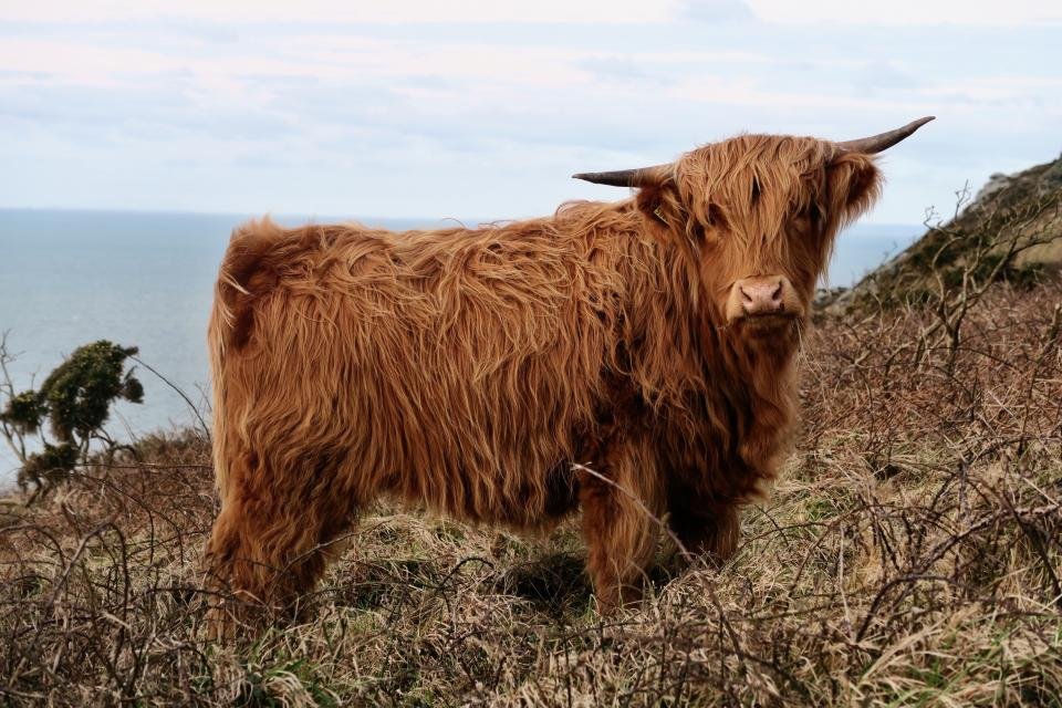 highland cow cattle animal sea water outdoor nature mountain sky cloud