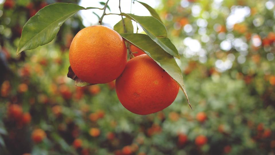 oranges fruits healthy food trees