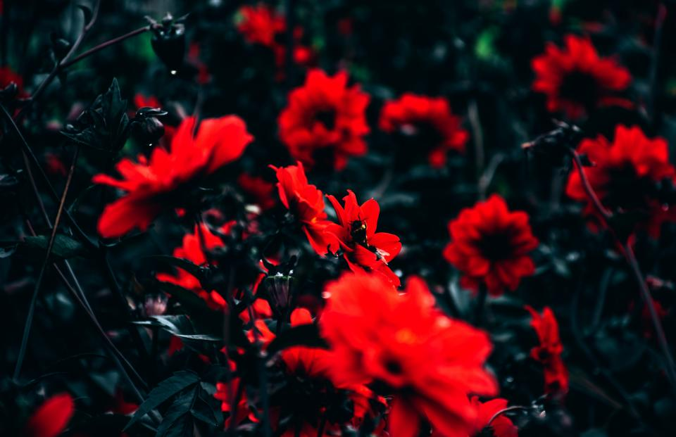 flower red petals bloom leaves plants garden nature bee insect outdoor