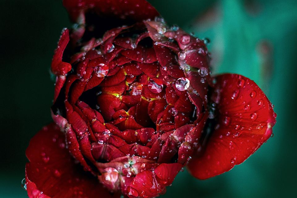 flowers nature blossoms rose petals water droplets red green bokeh outdoors garden