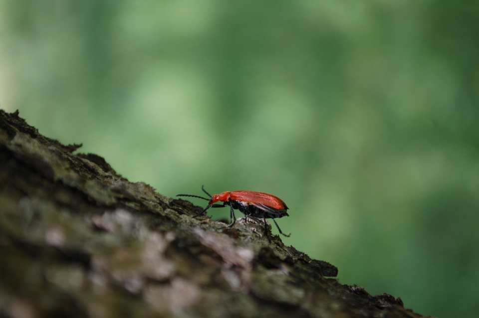 red beetle insect bark tree animals green crawl small creepy