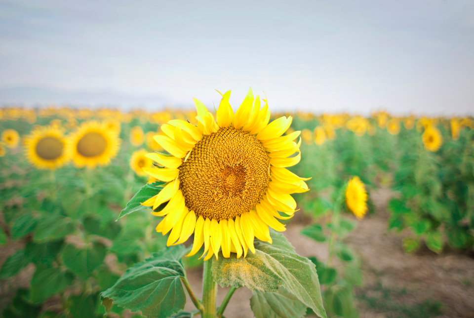 large sunflower field farm yellow summer sky crops flower nature fauna garden