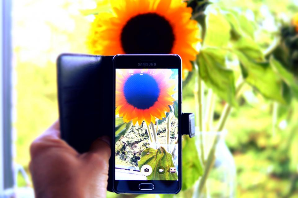hand capture camera phone sunflower nature photography leaves nature plant summer sunny sunlight sunrise