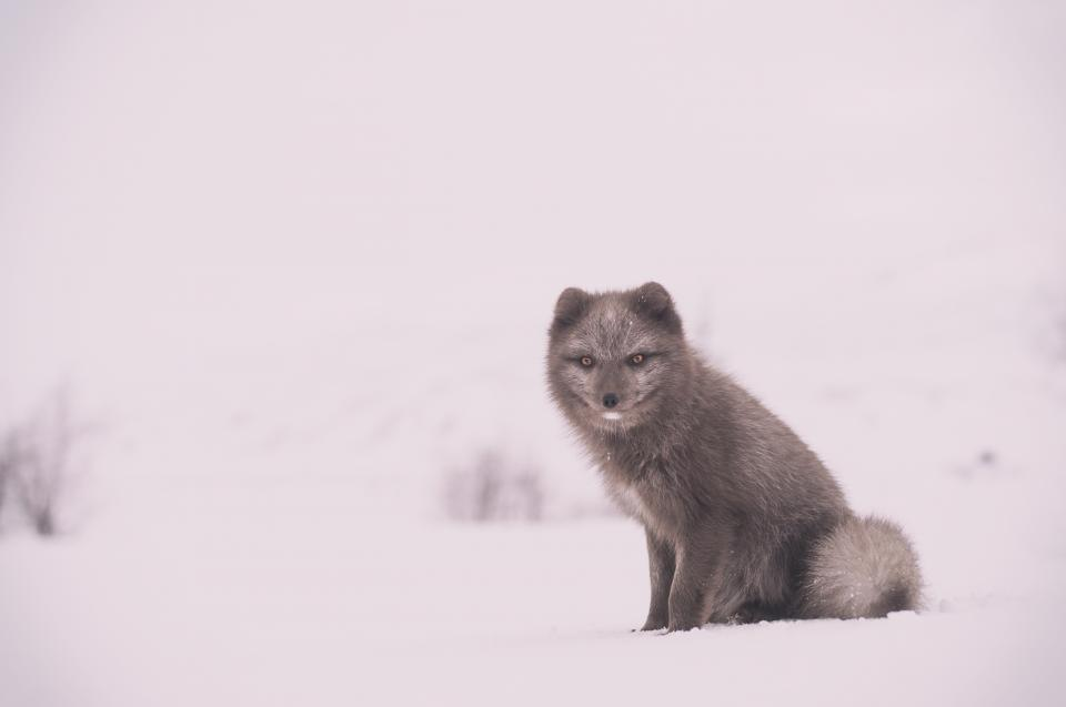 fox animal wildlife snow winter