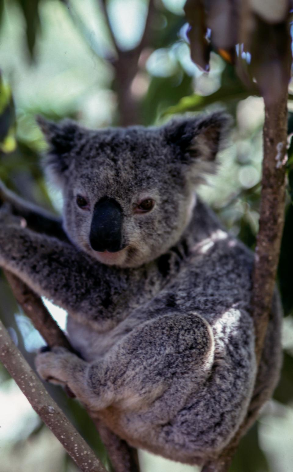 koala animal wildlife forest