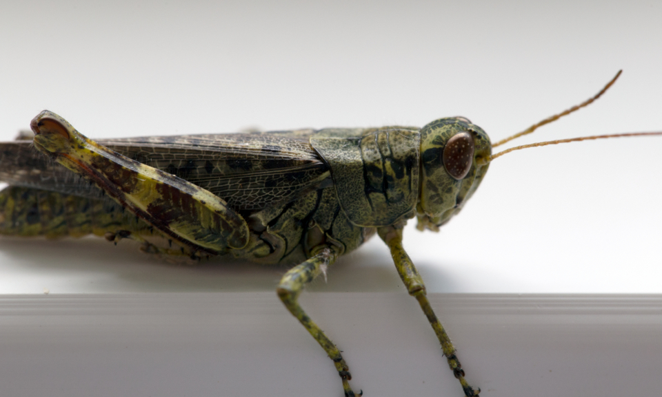 grasshopper macro close up insect bug nature cricket wildlife antenna green creature leg eye