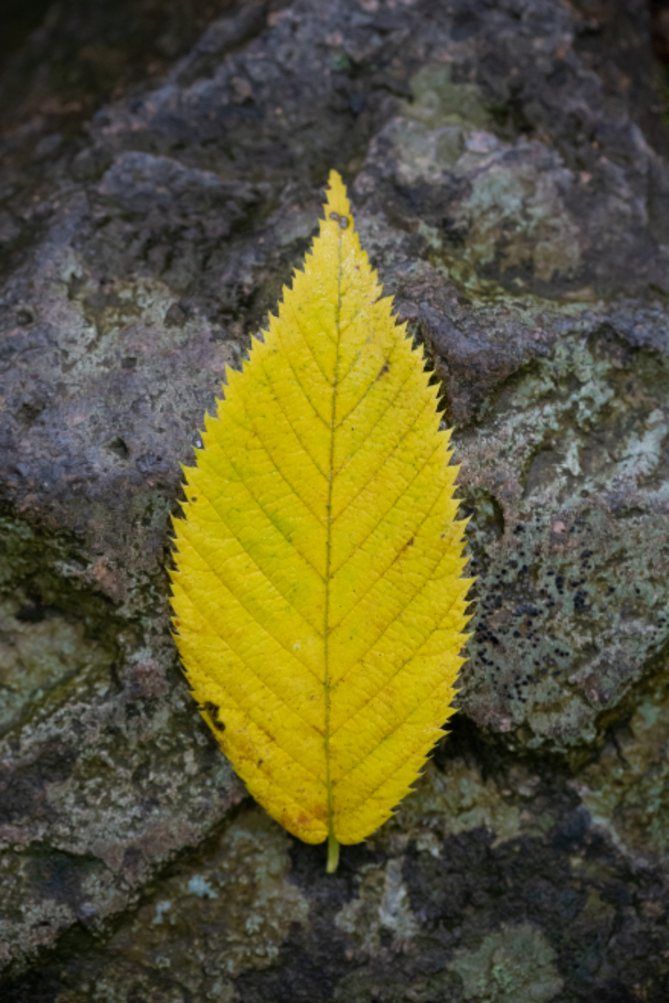 leaf top closeup natural nature plant background outdoors rock autumn fall stone foliage mobile wallpaper